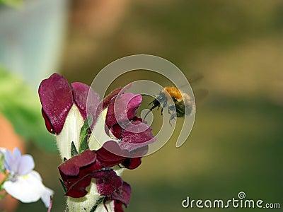 Biene mit der Zunge ausgedehnt