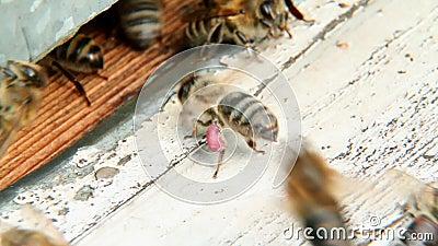 Biene sitzt an Bienenstock 2 stock video footage