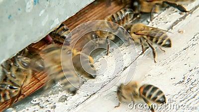 Bienen fliegen in Bienenstock 2 stock footage