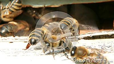 Bienen lüften den Bienenstock stock video footage