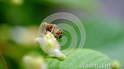 Biet söker aktivt honung från pollenTetraceraloureirien, Dillenia stock video