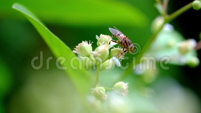 Biet söker aktivt honung från pollenTetraceraloureirien, Dillenia lager videofilmer
