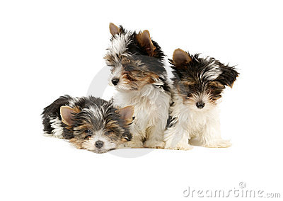 Biewer terrier puppies isolated