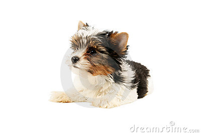 Biewer terrier puppy isolated