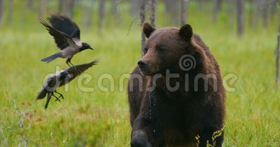Big adult brown bear eats while birds fly around in the forest. Large brown bear in the free eats a late evening in the forest. Ursus arctos in the finnish taiga stock video footage