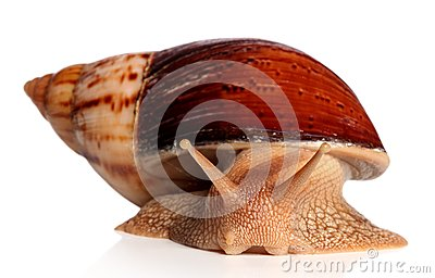 Big African snail Achatina fulica crawling