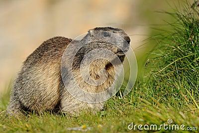 Big Alpine Marmot