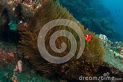 Big anemone with clownfish