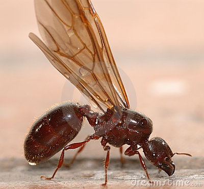Free Big Ant With Wings Stock Image - 5658341