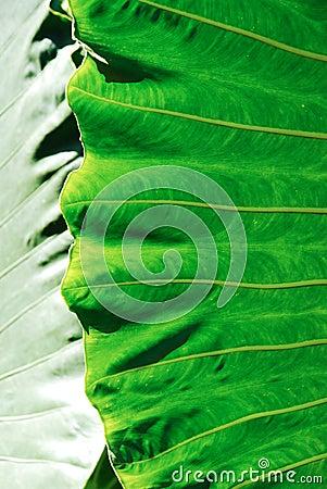 Big araceae leaf