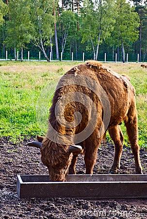 Big aurochs