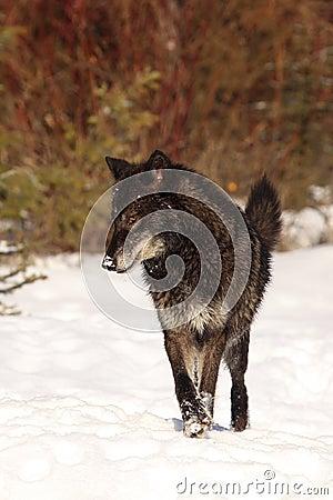 Free Big Bad Wolf Royalty Free Stock Photos - 37937388