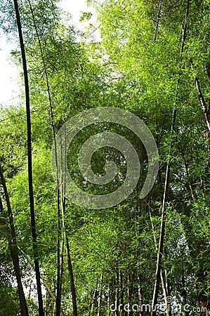 Free Big Bamboo Stalks! Stock Image - 1447801