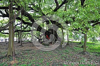 A big banyan tree