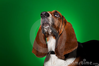 Big basset hound dog looking up