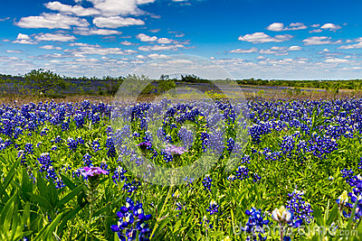 A Big Beautiful Colorful Wide Angle View of a Texas Field Blanketed with the Famous Texas Bluebonnets.