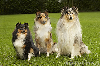 Big, Bigger, Biggest of Small Shelties