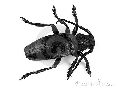 Big black beetle on white