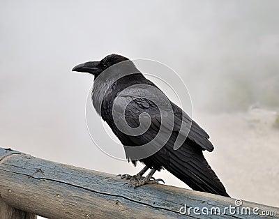 Big black raven
