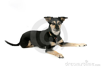 Big black and tan dog on high key background