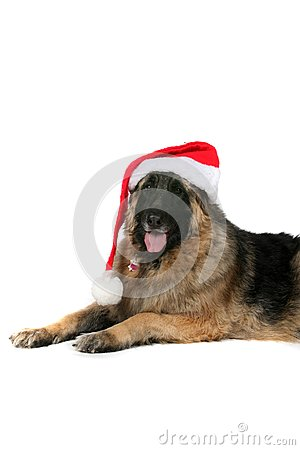 Big black and tan dog with santa hat on