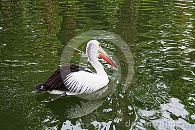 Big black-and-white pelican
