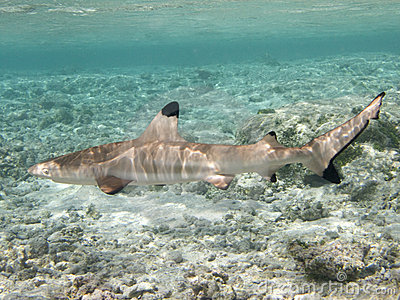 Big Blacktip reef shark