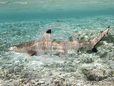 Big Blacktip reef shark