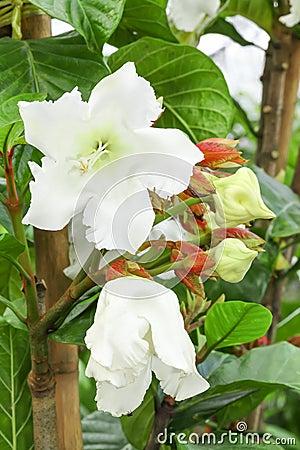 Big blooming of Easter Lily Vine flower