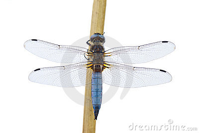 Big blue dragonfly
