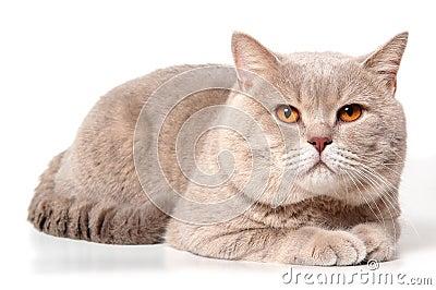 Big british lilac cat
