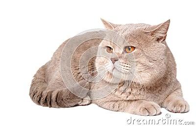 big-british-lilac-cat-3790236.jpg