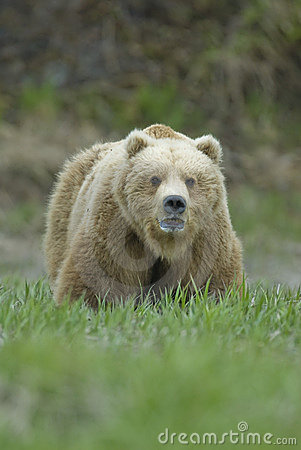 Big Brown Bear showing teeth. McNeil River, Alaska