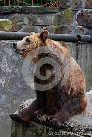 Big brown bear sitting on the edge