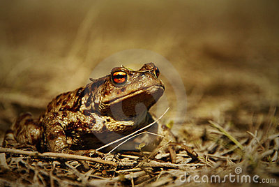 Big brown frog closeup