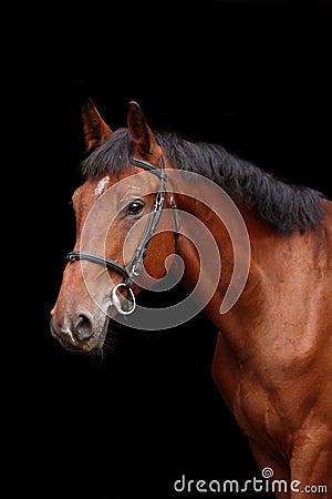 Free Big Brown Horse Portrait On Black Background Stock Image - 47443231