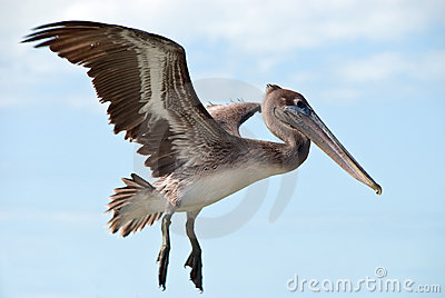 a big brown pelican flying