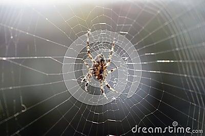 Big brown spider in cobweb 01