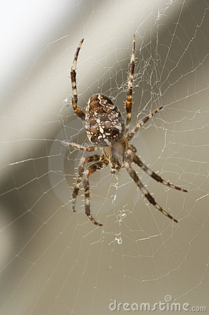 Free Big Brown Spider In Cobweb 02 Royalty Free Stock Photos - 1259888