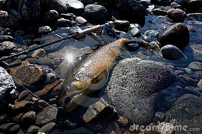 Big brown trout