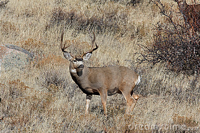 Big Buck Mule Deer