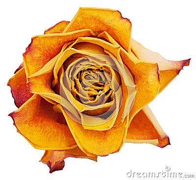 Big bud dried orange roses