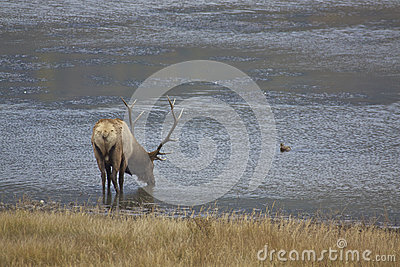 Big Bull Elk Drinking