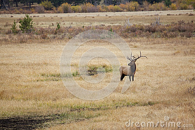Big Bull Elk in Meadow