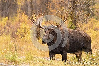 how to call big bull moose
