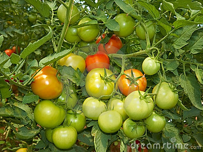 Big bunch of tomatoes