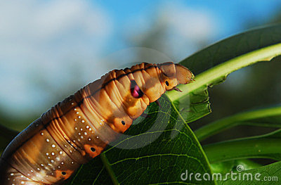 Big caterpillar