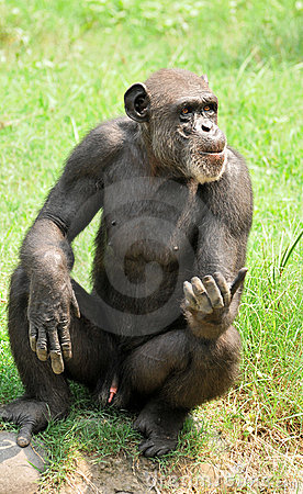 Big chimpanzee