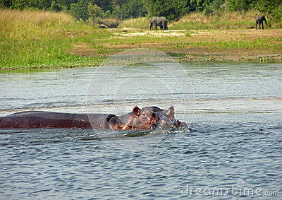 Wild African hippo partly submerged in water Nile