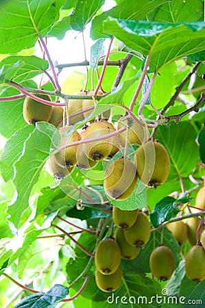 Big cluster of kiwi